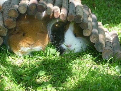 meerschweinchen spiele kostenlos