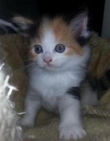 perserkatzen amp kitten kaufen amp verkaufen marktde