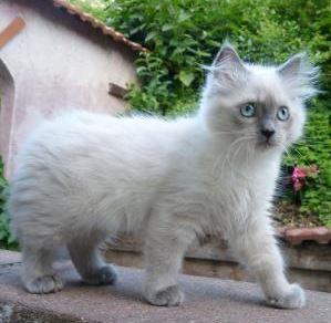 ragdoll katzen kitten in bayern kaufen verkaufen kleinanzeigen. Black Bedroom Furniture Sets. Home Design Ideas