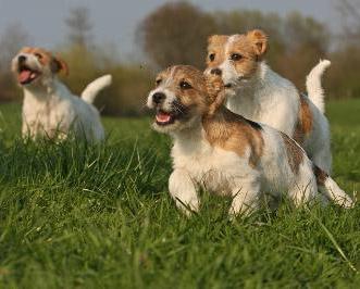 jack russell terrier welpen zu verkaufen