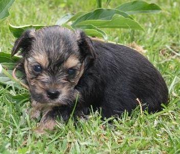 yorkshire terrier welpen hunde in nordrhein westfalen kaufen verkaufen kleinanzeigen. Black Bedroom Furniture Sets. Home Design Ideas
