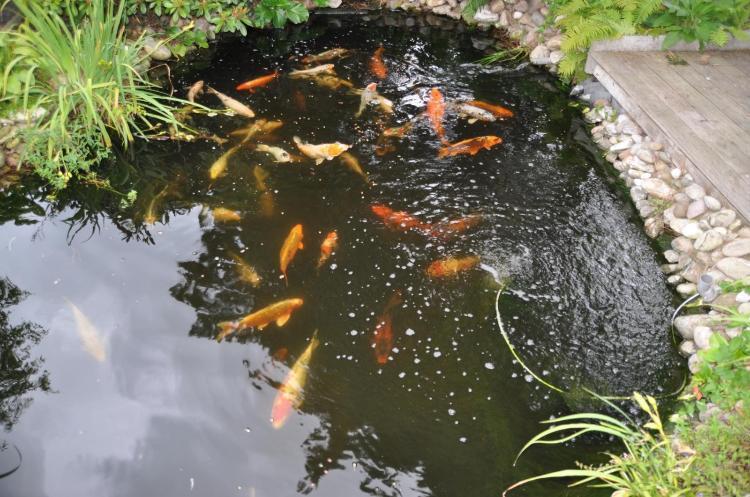 Wie kann ich einen fischteich anlegen for Welche fische in teich