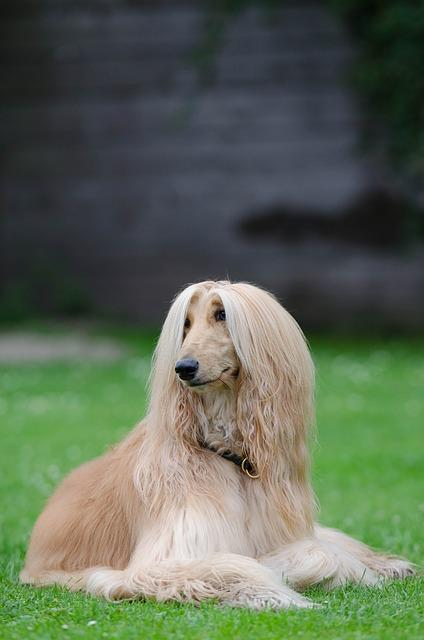 Dog Breed Afghanistan