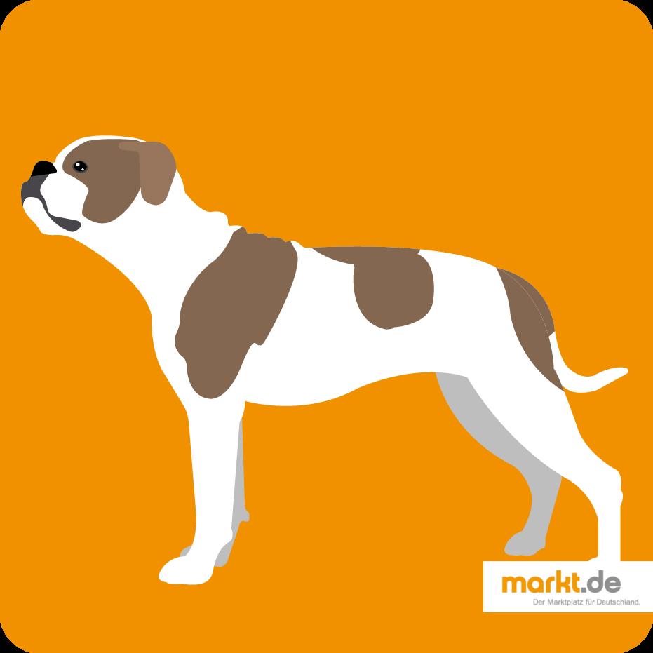 Amerikanische Bulldogge