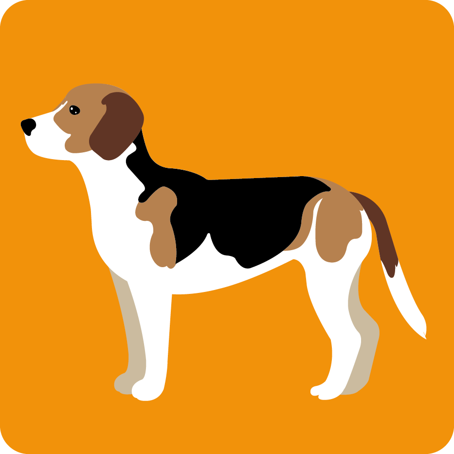 Bild Beagle Harrier
