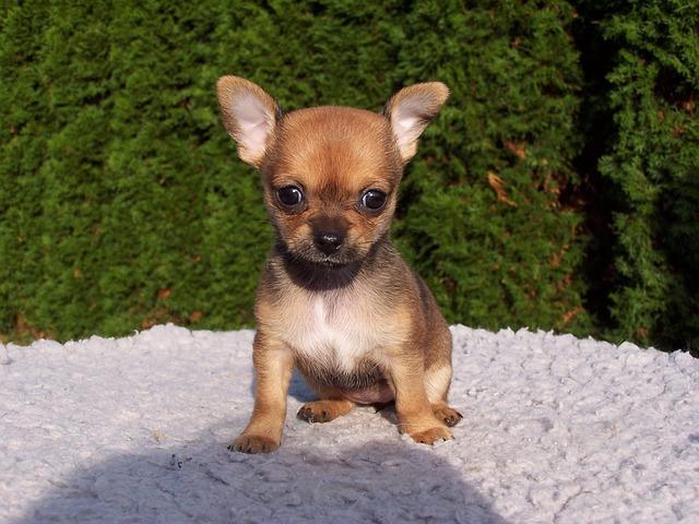 Chihuahua Stubenrein