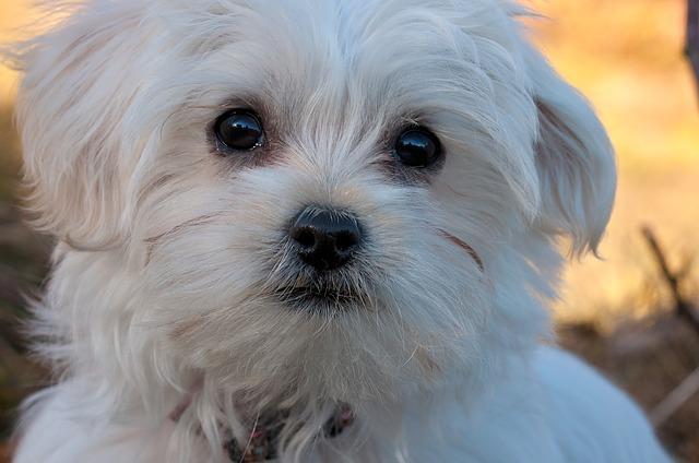 Small Fluffy Hypoallergenic Dog Breeds