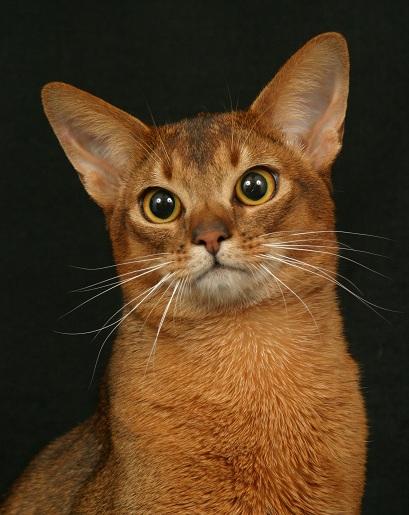 Top 10 Cat Breeds | petMD