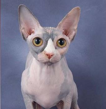Spyhnx-Katze