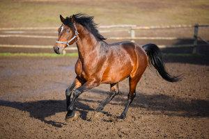 Pferd trabt