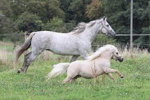 pferde, pony