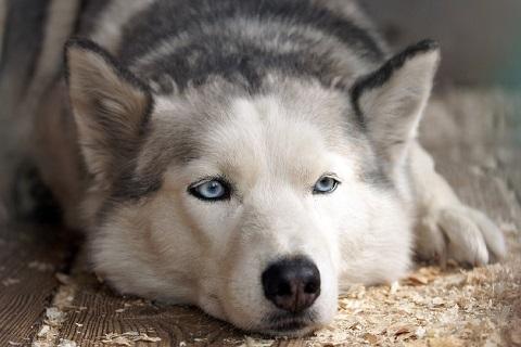 welche hunde haben blaue augen ber die augenfarbe bei hunderassen. Black Bedroom Furniture Sets. Home Design Ideas