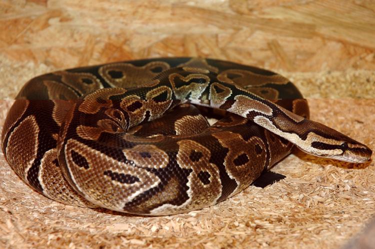 beliebte schlangenarten so treffen sie eine richtige entscheidung beim kauf. Black Bedroom Furniture Sets. Home Design Ideas