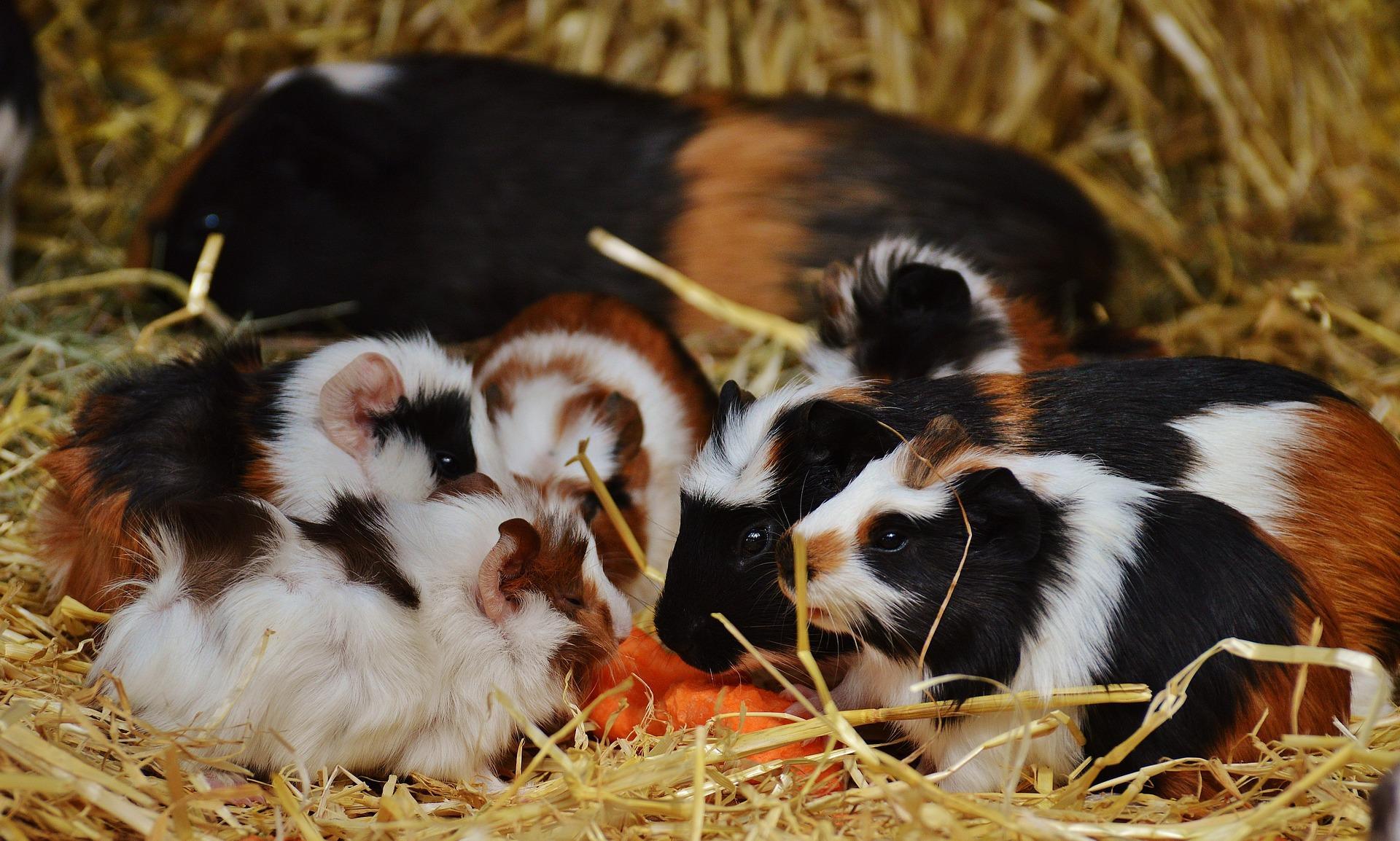 Bild Meerschweinchenfamilie mit Babys