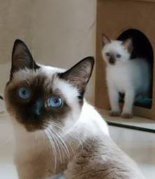 Siam Katzen