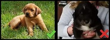 Das rechte Bild zeigt den Hund nur unscharf und in einer unnatürlichen Position. Besser sind natürliche Hintergründe und Aufnahmen des ganzen Hundes wie im linken Bild.