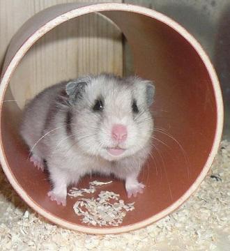 Bild Hamster in Rohr