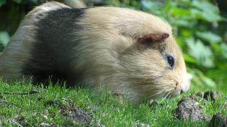 Kleinsäuger: Meerschweinchen und Co.