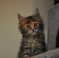 maine coon katzen amp kitten kaufen amp verkaufen marktde