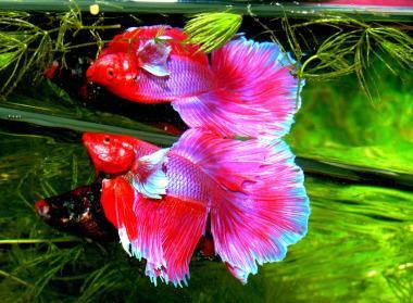 Siamesischer Kampffisch im Aquarium