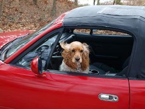 Bild Hund in Cabrio mit Stoffverdeck