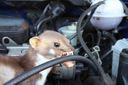 Marder im Motorraum