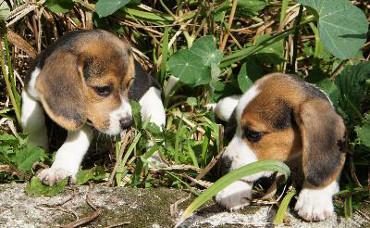 Bild Beagle Welpen