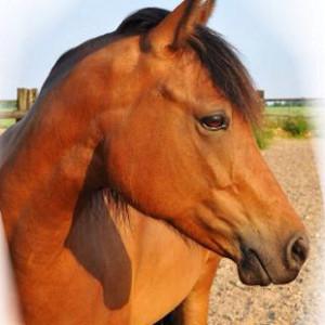 Bild braunes Pferd