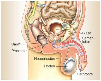 Querschnitt Mann für Prostatamassage