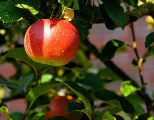 Bild Apfelbaum
