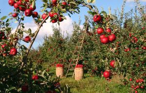 Bild Apfelbäume im Garten