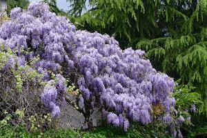 Bild Blauregen in kleinem Garten