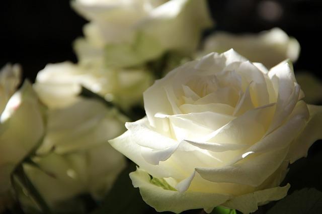 Bild weiße Rosen