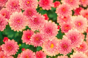 Bild Blumen Rosa