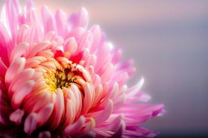 Bild Chrysantheme