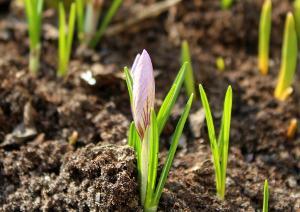 Bild Krokus Frühling anpflanzen