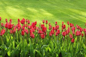 Bild Tulpen Rasen
