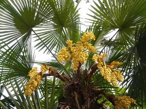 Bild blühende Hanfpalme im Garten