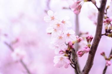 Bild Blüten der Säulen-Zierkirsche