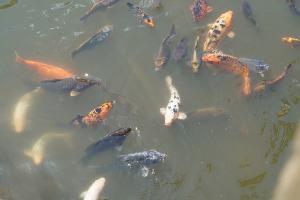 Fischteich Reinigen