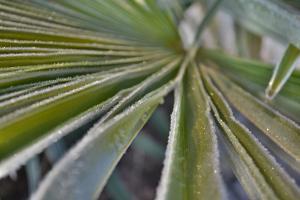 Bild Palmenblatt mit Frost im Garten