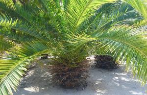Bild Palme in Garten mit Sand