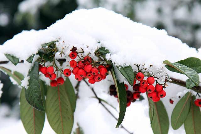 Bild Schneedecke über Vogelbeeren