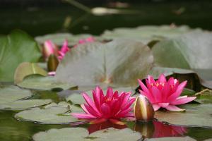 Bild Seerose pink Gartenteich