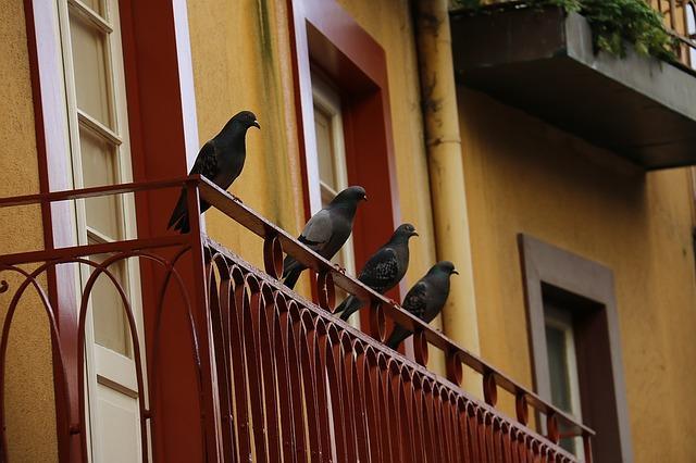 Bild Tauben am Balkon