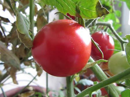 Bild Selbst angebaute Tomaten