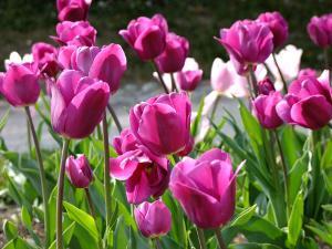 Bild Tulpen Frühjahr