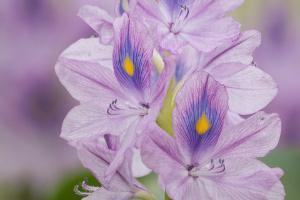 Bild Wasserhyazinthe Eichhornia Gartenteich