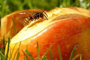 Bild Wespe auf Fallobst