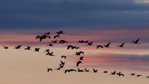Bild Zugvögel
